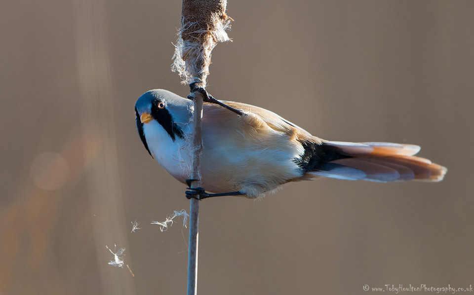 Male Bearded Tit on reed head