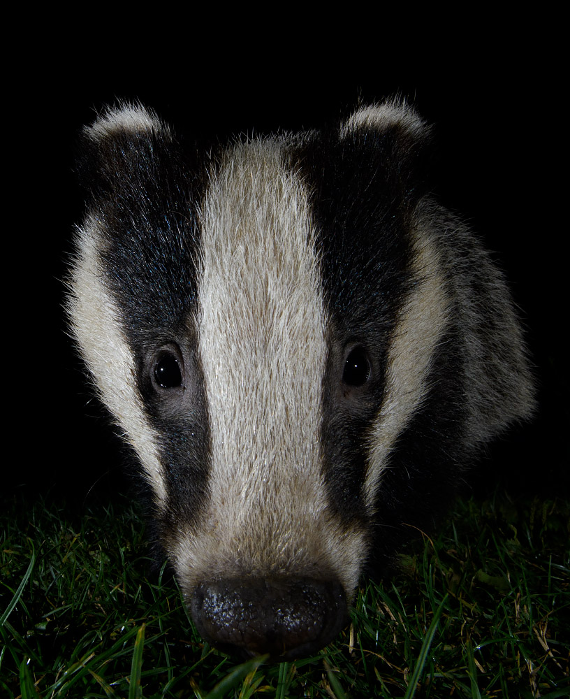 Badger Cub close up