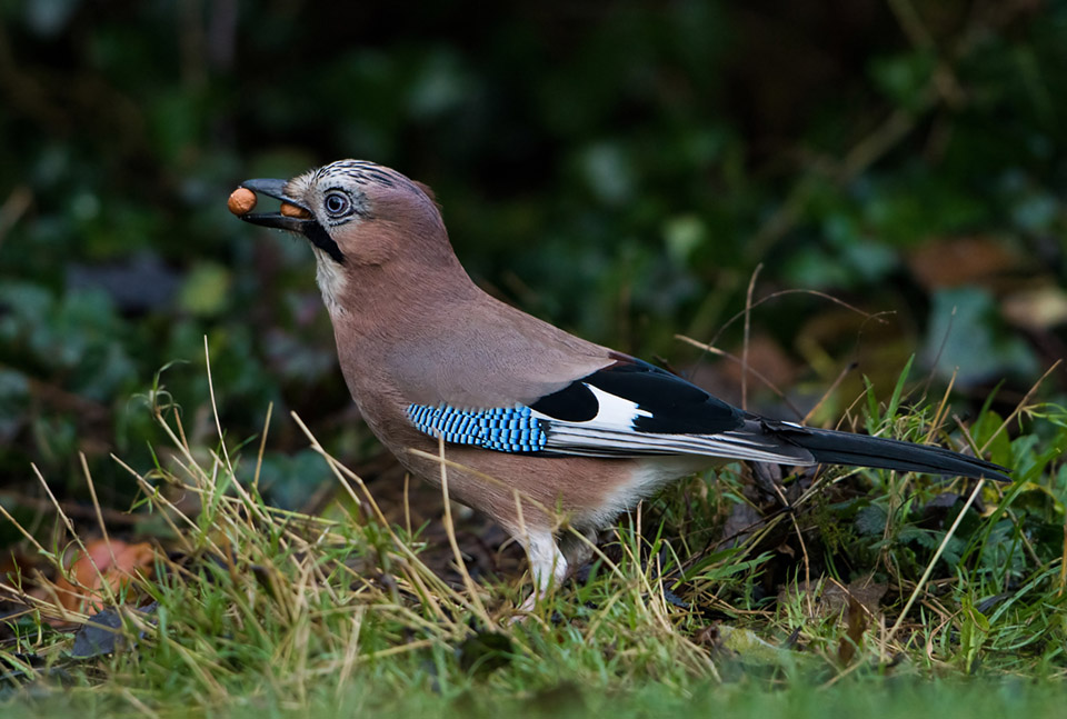 Jay with peanuts