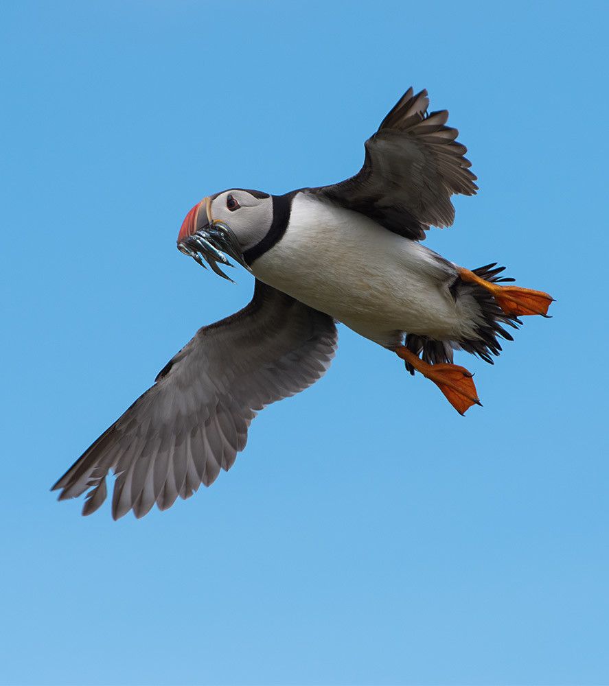 Puffin in flight with sandeels - Farne Isles