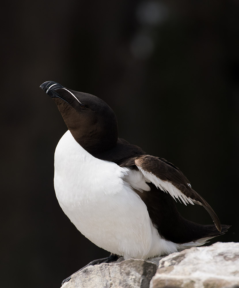 Razorbill resting - Farne Isles