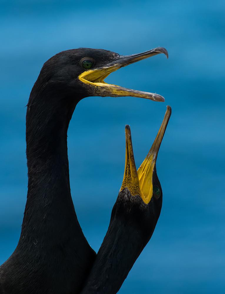 Shag courtship - Farne Isles
