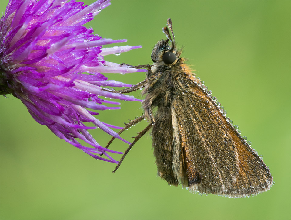 Little Skipper and dew