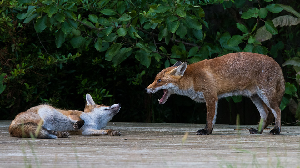 Scolding for young fox