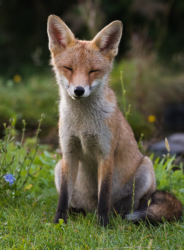 Tired Fox Cub