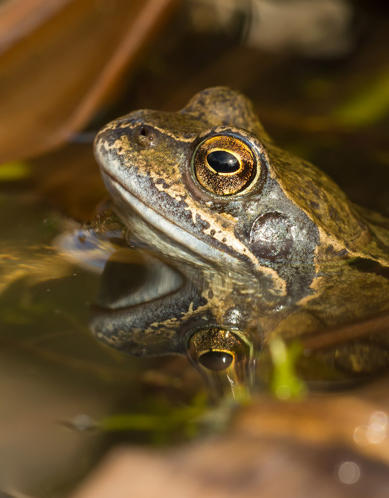 Common Frog close up