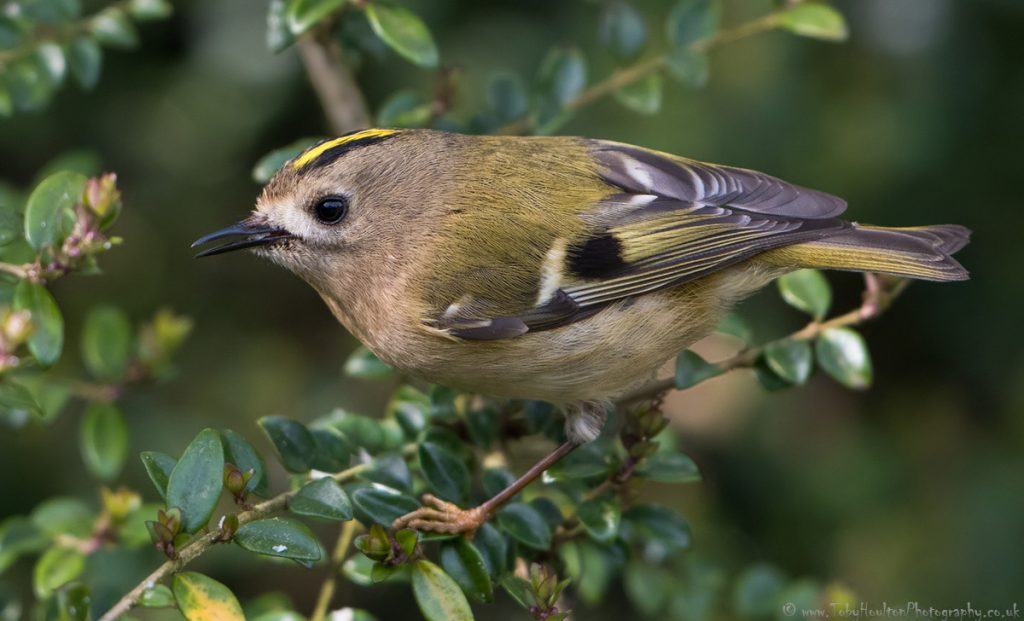 Goldcrest side portrait