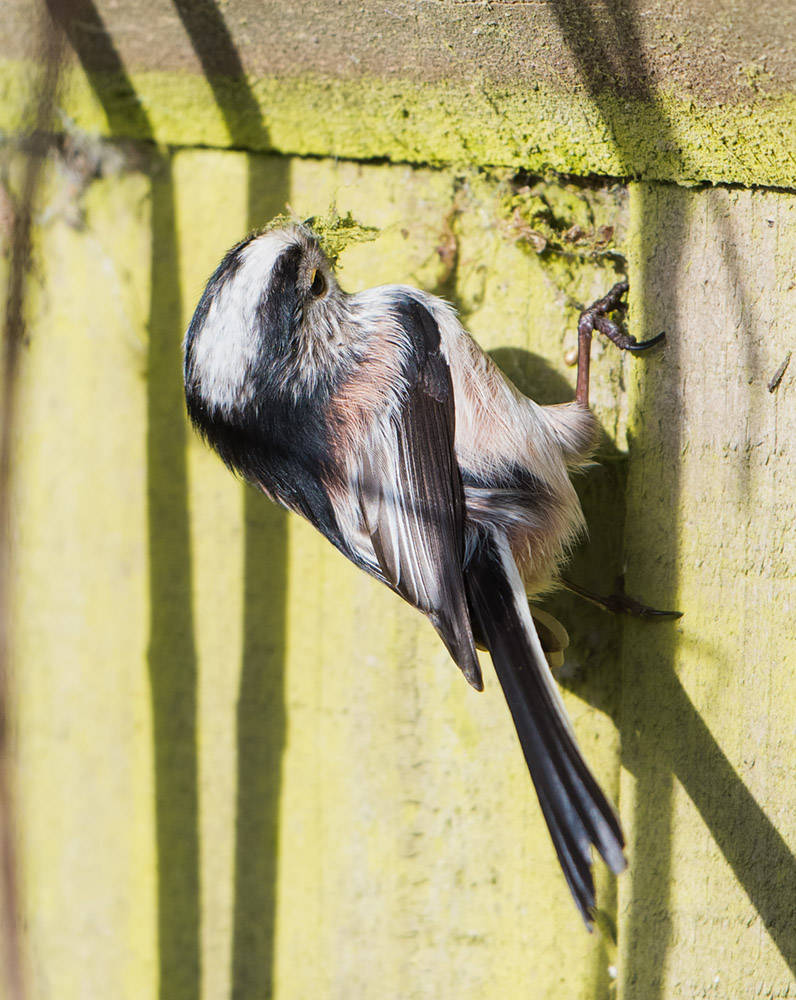 Long Tailed Tit with moss
