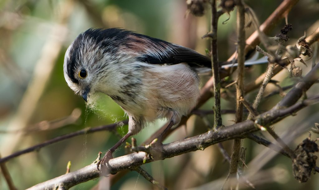 Long Tailed Tit gathering nesting material