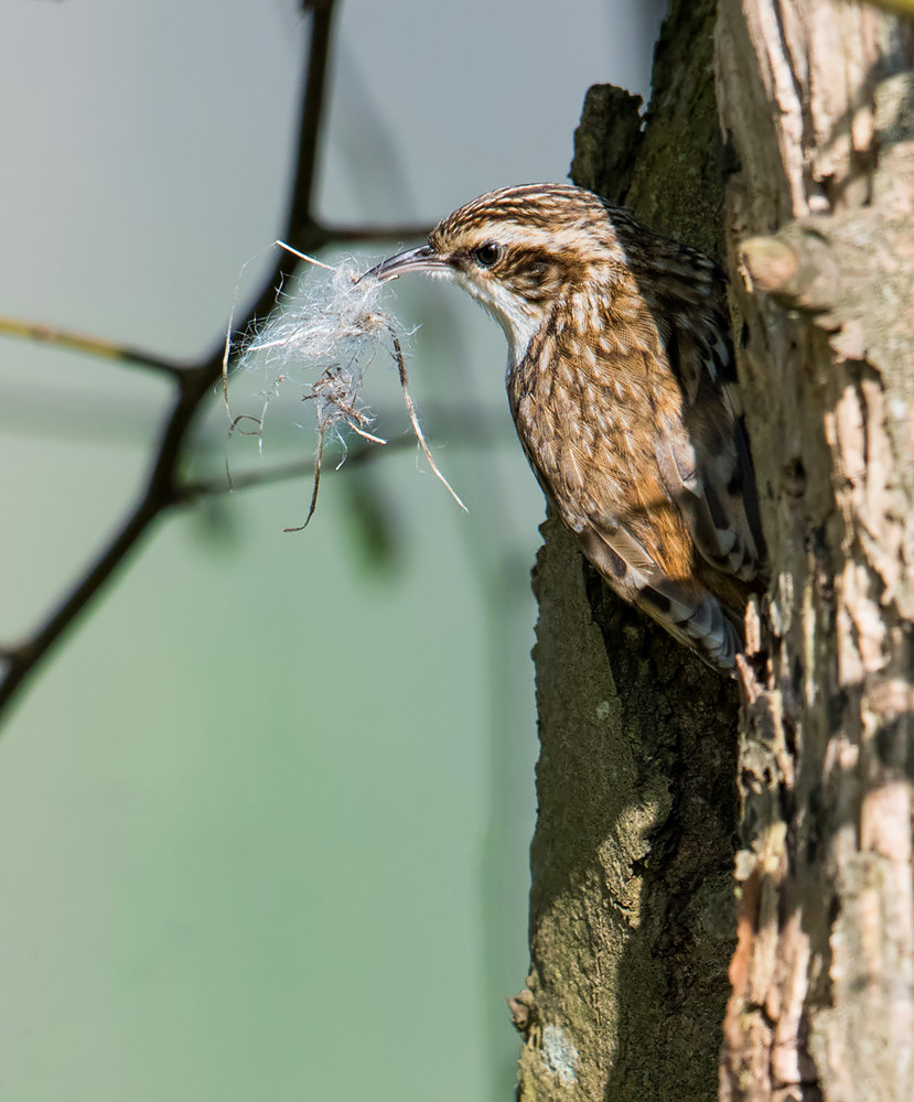 Treecreeper with nesting material