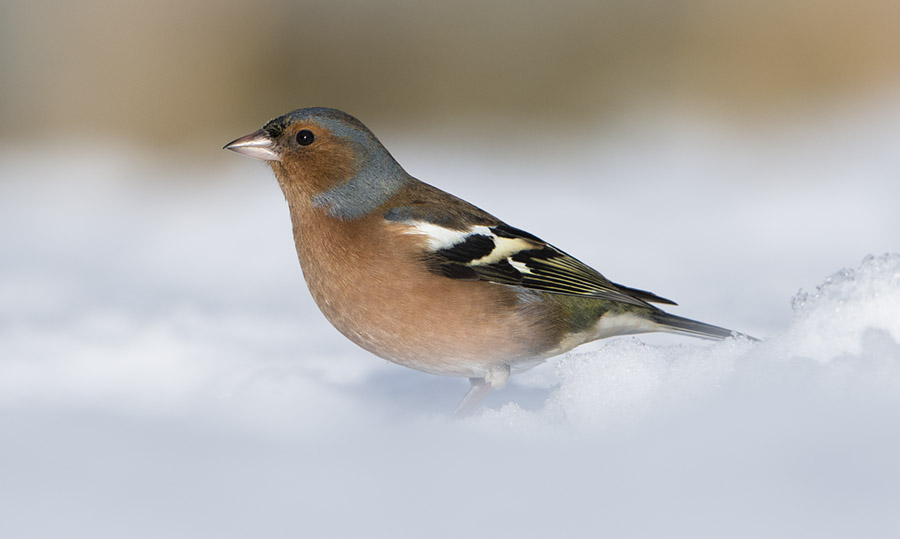 Male Chaffinch in snow