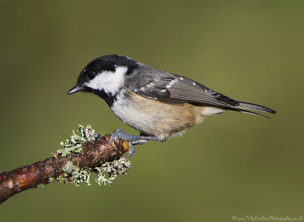 Perching Coal Tit