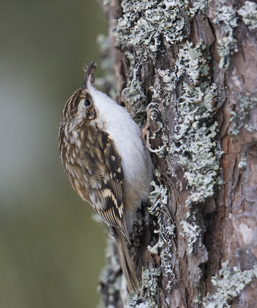 Treecreeper with spider
