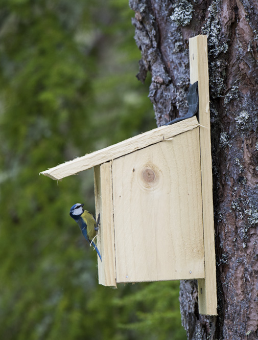 Blue Tit using home made nest box
