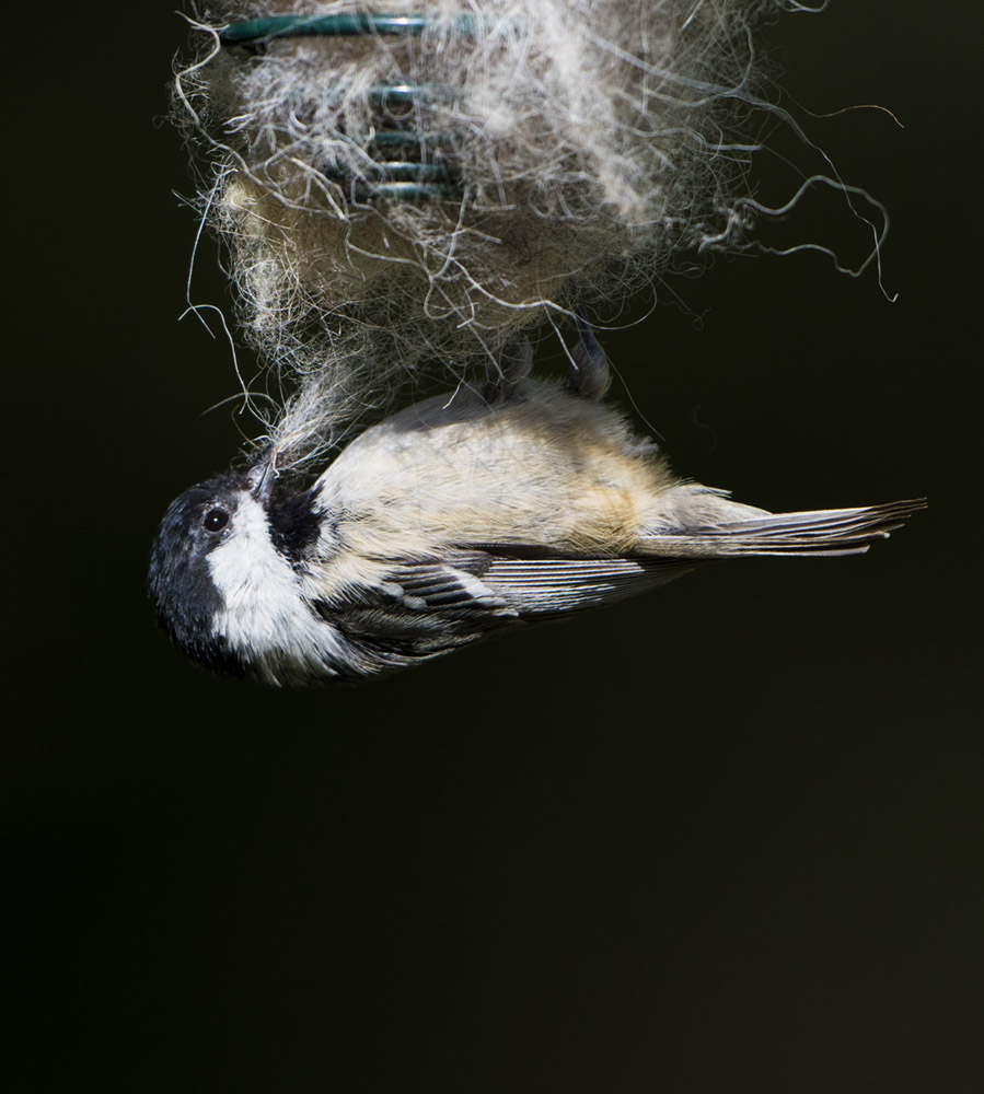 Coal Tit collecting wool