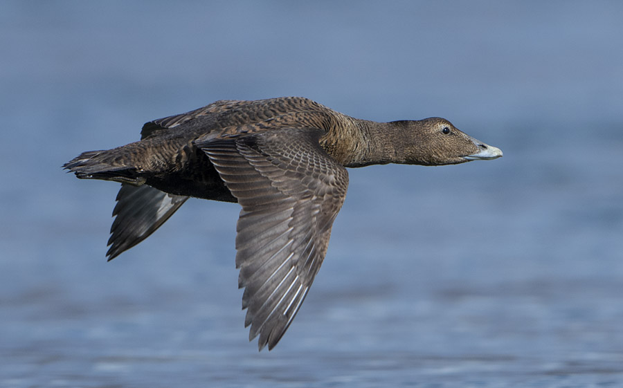Female Eider Duck in flight, Loch Fleet
