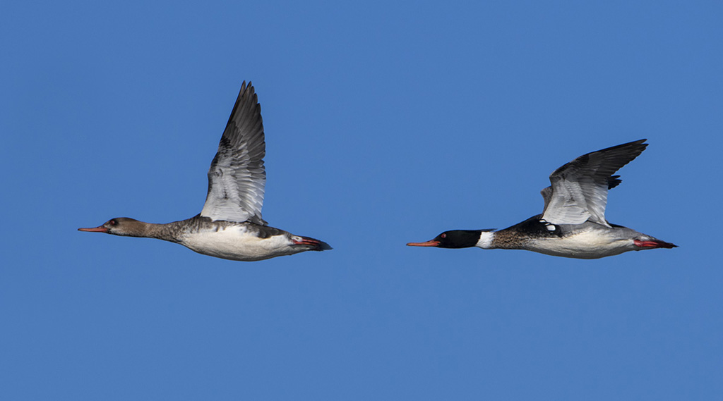 Red Breasted Mergansers in flight