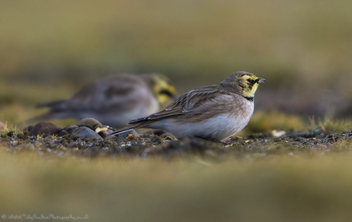 Shore (Horned) Larks