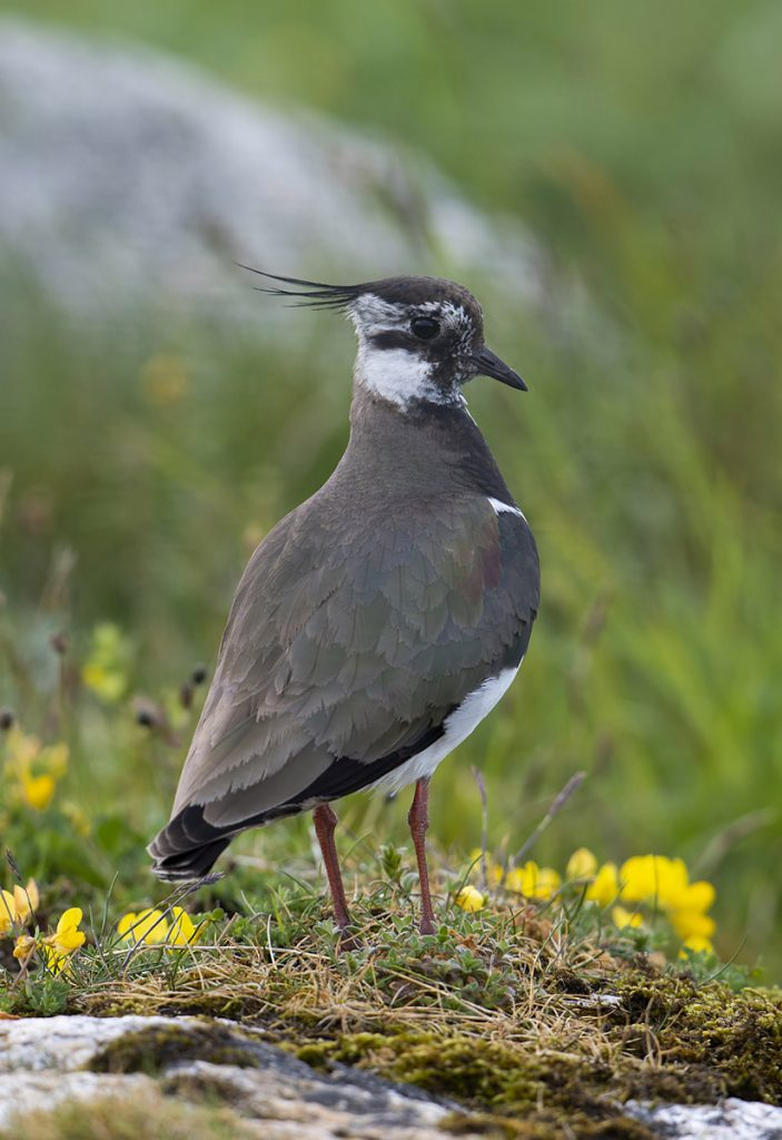 Lapwing amongst flowers
